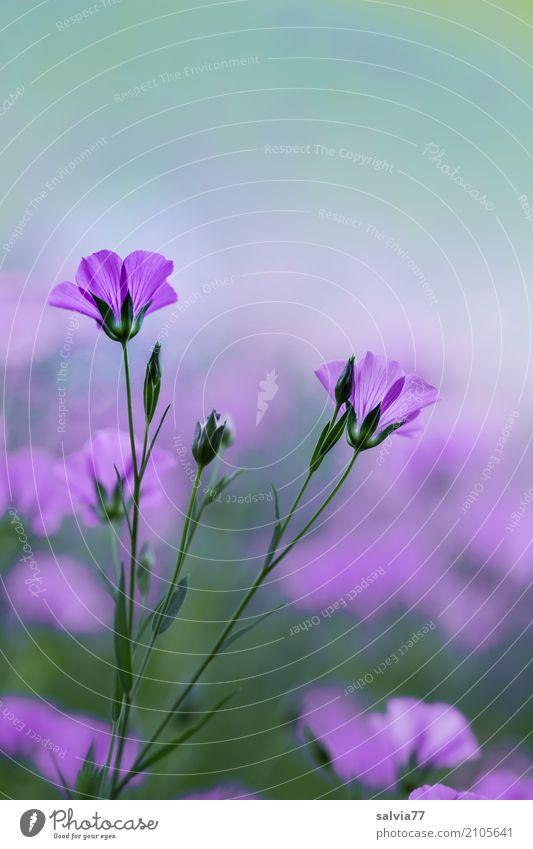Blumentraum harmonisch Wohlgefühl Sinnesorgane Erholung ruhig Duft Umwelt Natur Pflanze Frühling Sommer Blüte Nutzpflanze Wildpflanze Leingewächse Garten Feld
