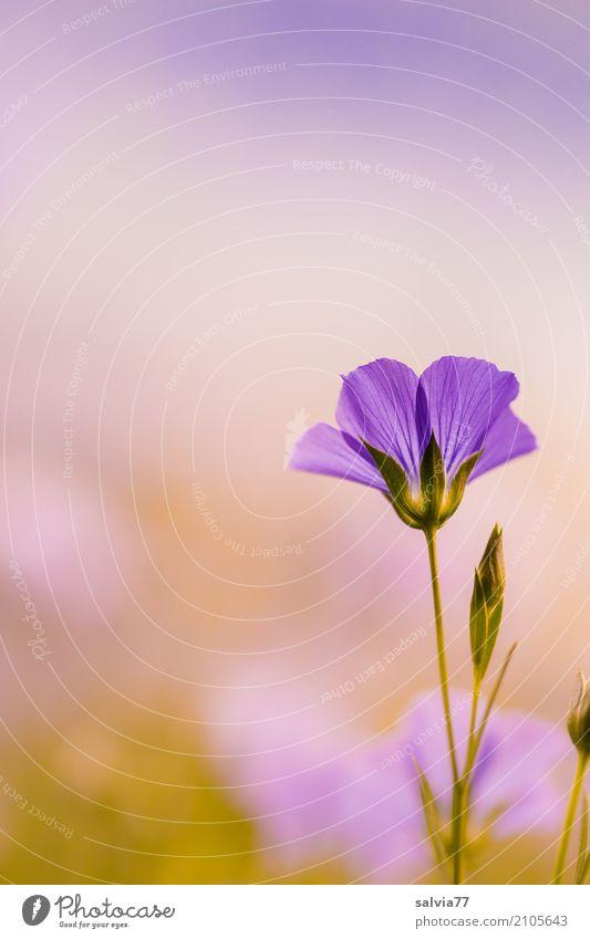 Zart Gesunde Ernährung harmonisch Sinnesorgane ruhig Meditation Duft Umwelt Natur Sommer Pflanze Blume Blüte Nutzpflanze Lein Wiese Feld Blühend schön blau grau