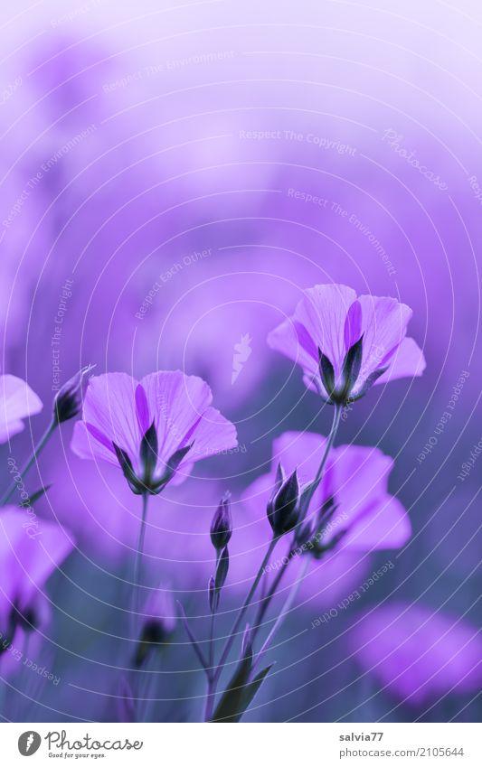ton in ton | lila traum Alternativmedizin harmonisch Sinnesorgane Erholung ruhig Meditation Duft Umwelt Natur Sommer Pflanze Blume Blüte Nutzpflanze Lein Garten