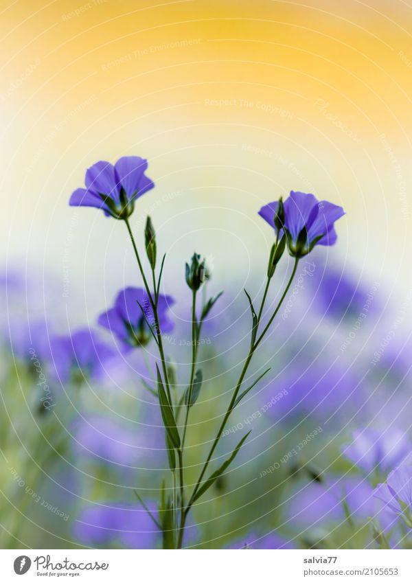 Blütentraum Alternativmedizin Wohlgefühl Zufriedenheit Erholung Umwelt Natur Pflanze Sommer Blume Nutzpflanze Leingewächse Garten Feld Blühend positiv schön