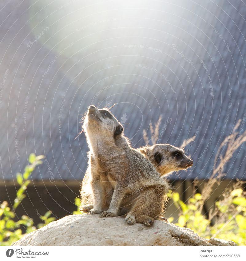 Reach the Sun Natur Tier Stein Felsen sitzen Sträucher Dach beobachten Neugier entdecken niedlich genießen Wachsamkeit Säugetier Erwartung Zusammenhalt