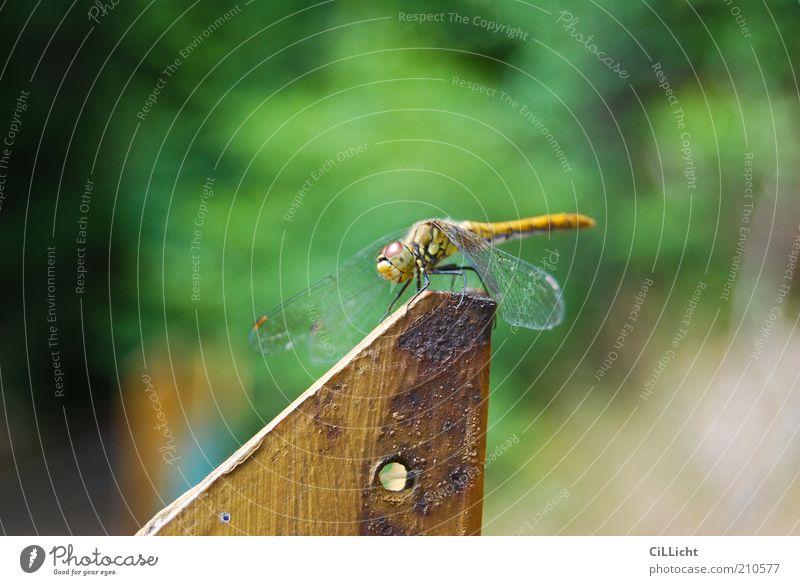 Liebe Libelle Tier Flügel 1 Rost Erholung authentisch natürlich gelb gold grün Freiheit zerbrechlich zart Pause ruhend ruhig Libellenflügel Farbfoto
