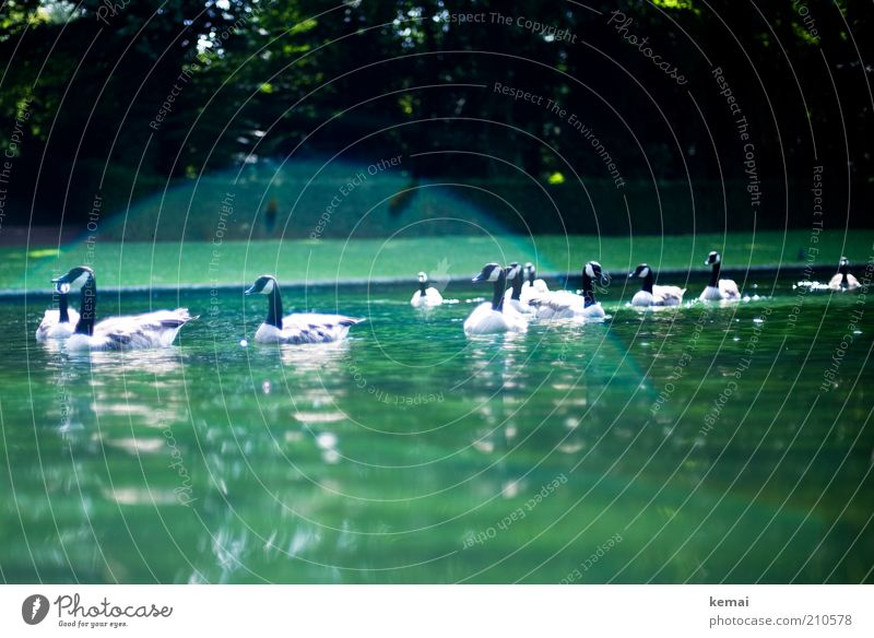Gänseherde Umwelt Natur Tier Wasser Sonnenlicht Sommer Klima Schönes Wetter Wärme Park Teich Wildtier Vogel Ente Wildente Gans Kanadagans Tiergruppe Schwarm
