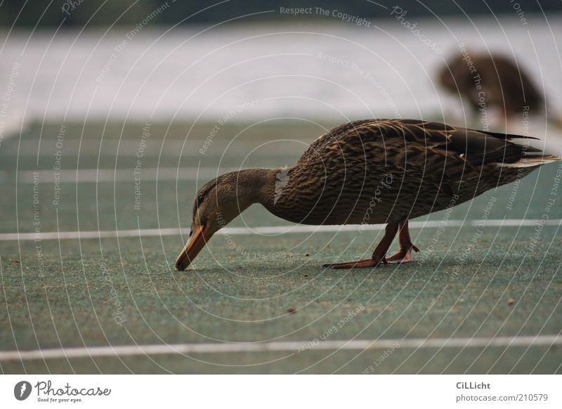 Ente Ente Ente Ente Wasser grün Ernährung Tier kalt grau See braun Vogel nass Suche Streifen natürlich Neugier Wildtier Appetit & Hunger