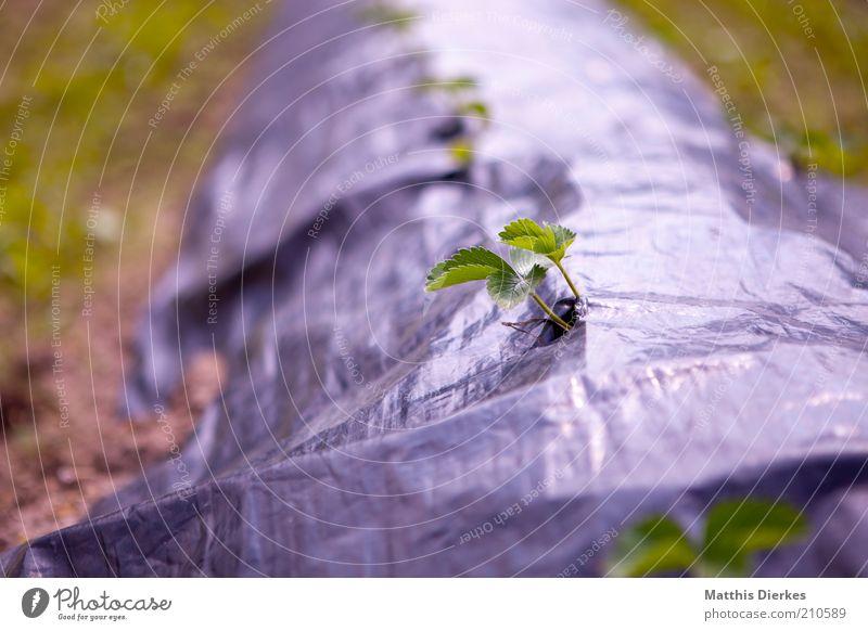 Wachsen Umwelt Natur Pflanze Sommer Blatt Nutzpflanze Feld grau grün Landwirtschaft Ernte Wachstum brechen Durchbruch Unkraut Geborgenheit gedeihen sprießen