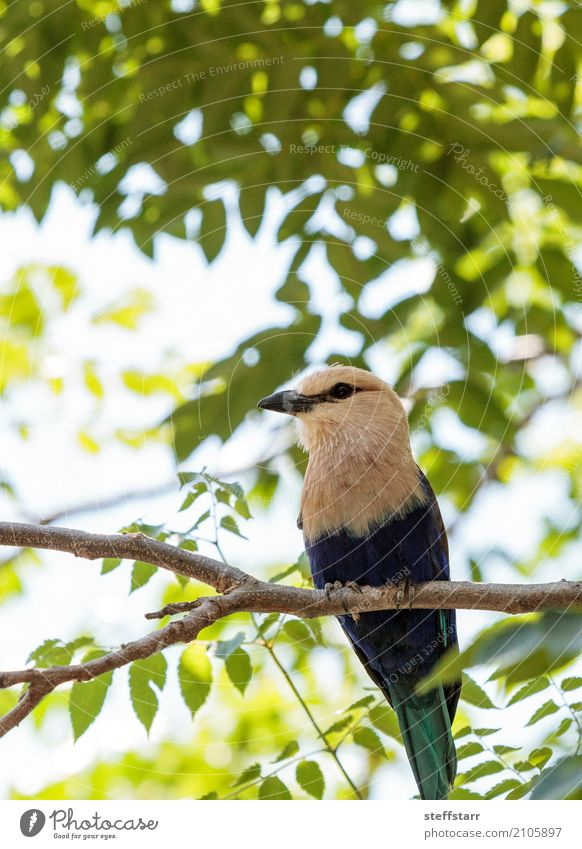 Nördliche Purpurwalze namens Coracias naevius naevius Natur Pflanze Baum Park Tier Wildtier Vogel Tiergesicht Flügel 1 wild mehrfarbig gelb grün violett türkis