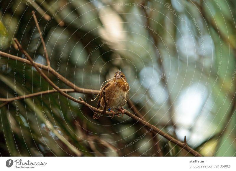 Pin-tailed Whydah Vogel Vidua macroura Natur Pflanze Baum Tier Wildtier Tiergesicht Flügel 1 braun gelb gold grün Spitzschwanzwitwe Wida Feder Schnabel