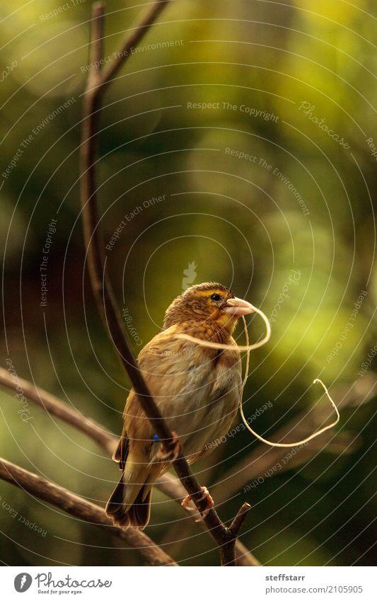 Pin-tailed Whydah Vogel Vidua macroura Natur Pflanze Baum Tier Wildtier 1 braun gelb gold grün Spitzschwanzwitwe Wida Feder Schnabel Wildvogel Tierwelt Farbfoto