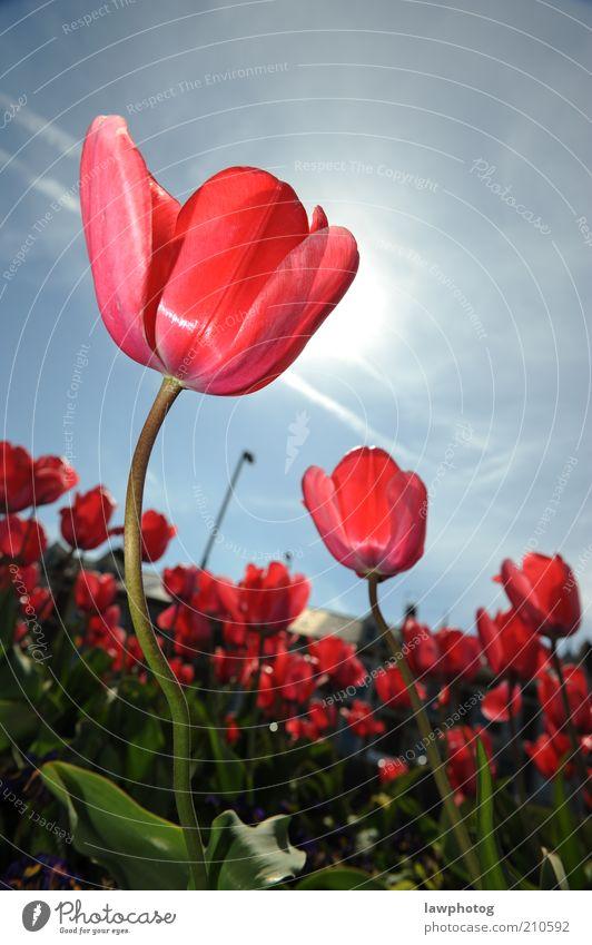 in der Sonne tanzen Natur Pflanze Himmel Frühling Schönes Wetter Blume Gras Blüte Garten schön blau rosa rot Farbfoto mehrfarbig Nahaufnahme Detailaufnahme
