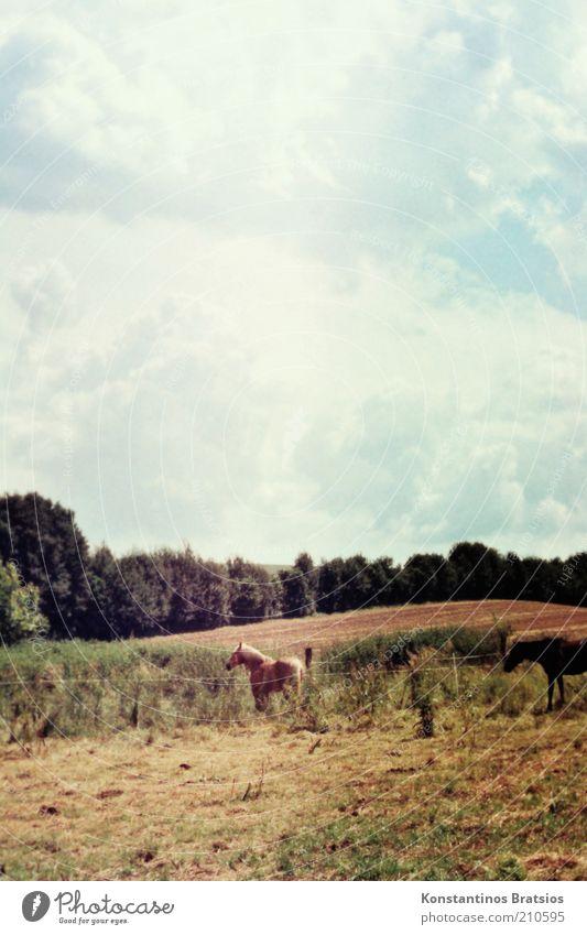 half black and full of beauty Himmel Wolken Frühling Sommer Schönes Wetter Baum Feld Pferd 2 Tier stehen authentisch schön Tierliebe Natur Weide Retro-Farben