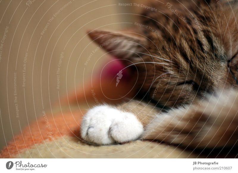 I am tired weiß rot ruhig Tier Erholung Freiheit träumen Katze Zufriedenheit braun schlafen Ohr weich liegen Lebensfreude natürlich