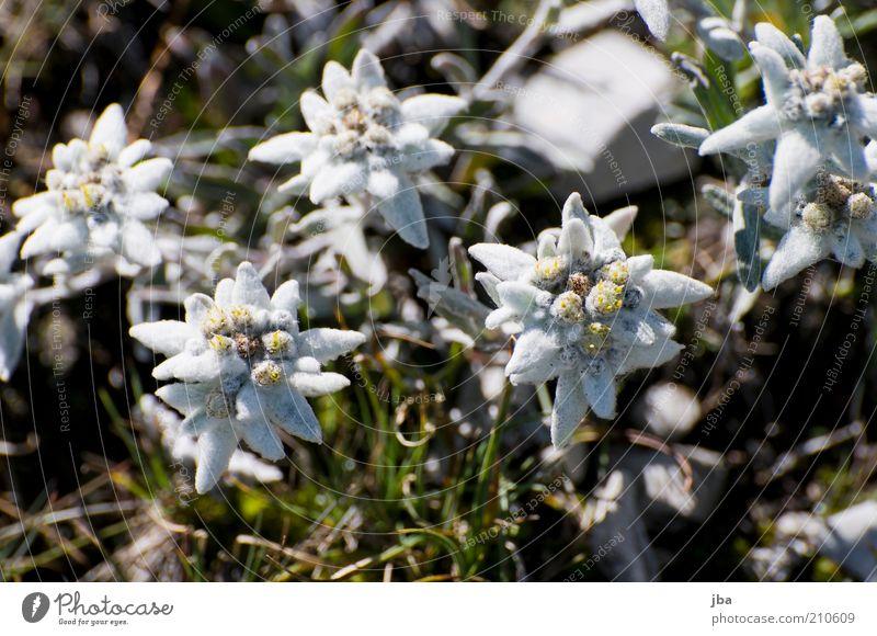 Edelweiss Natur alt weiß Pflanze Sommer Blume Erholung Berge u. Gebirge oben Umwelt Blüte Gesundheit Zufriedenheit elegant Felsen stehen