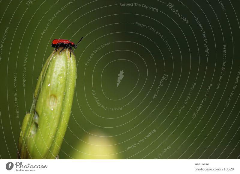 endlich am Ziel ... Ausflug Sommer Natur Pflanze Tier Wassertropfen Blüte Grünpflanze Käfer 1 krabbeln braun grün anstrengen Einsamkeit Erholung Neugier Umwelt