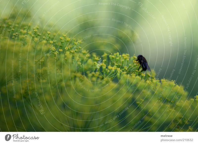 allein auf weiter Flur Natur grün Pflanze Sommer schwarz Tier gelb Fliege natürlich Licht Nutzpflanze Dill Küchenkräuter Fischgewürz