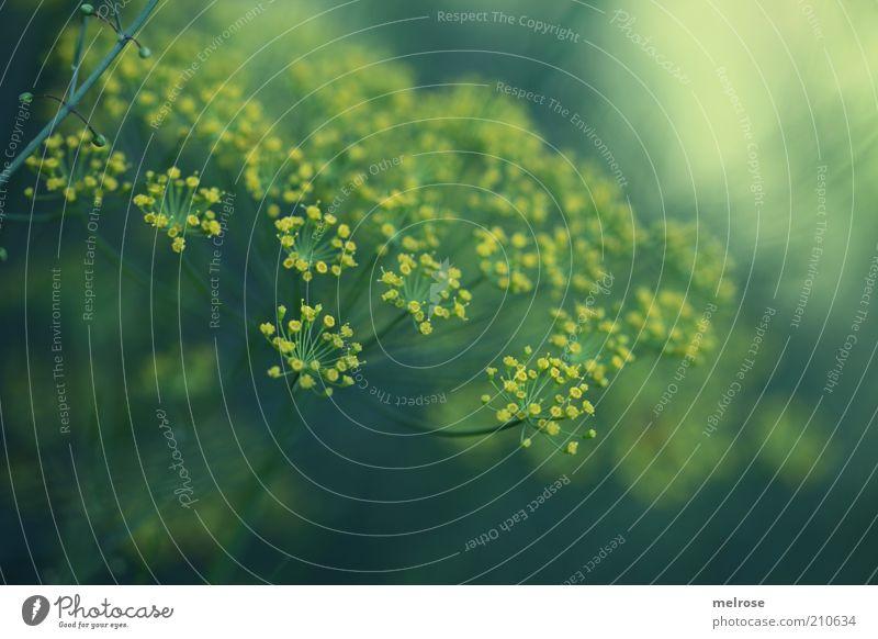 ganz unscheinbar Natur blau grün Pflanze gelb Gesundheit natürlich Lebensmittel Wachstum frisch Ernährung Blühend Kräuter & Gewürze Textfreiraum Nutzpflanze Makroaufnahme