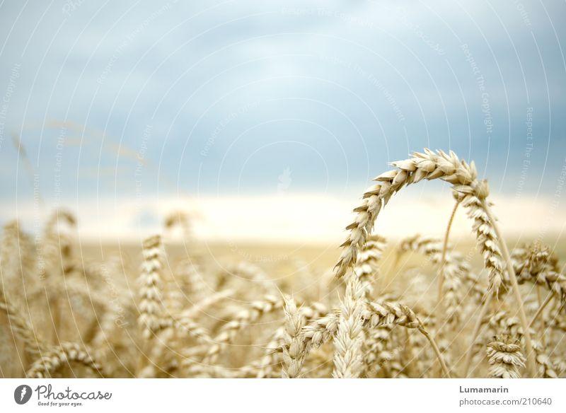 erntereif Lebensmittel Ernährung Umwelt Landschaft Gewitterwolken Horizont Sommer Pflanze Nutzpflanze Feld einfach frisch Gesundheit natürlich trocken Idylle