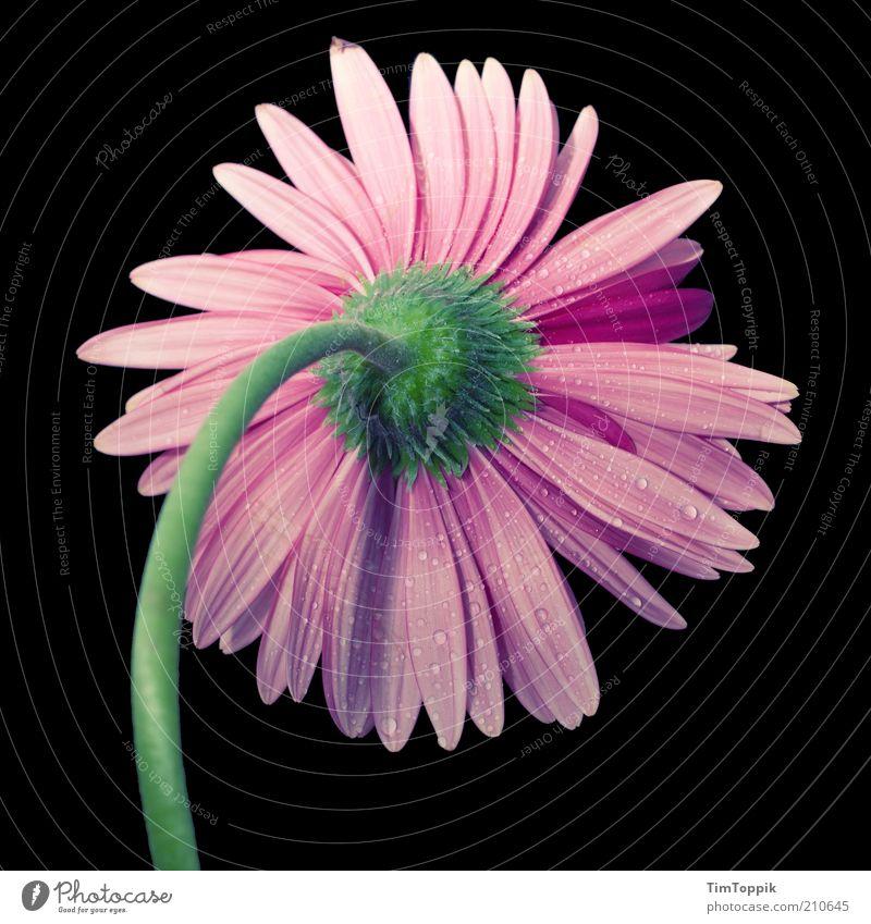 Mädchenbild I. Natur schön Blume grün Pflanze schwarz Blüte rosa Wassertropfen ästhetisch Kitsch Dekoration & Verzierung Stengel Tau Stillleben harmonisch