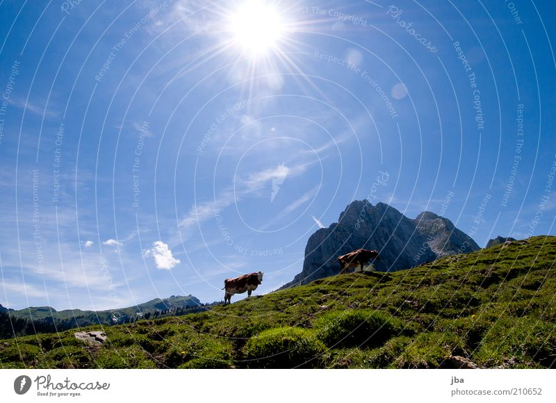Bergkuh Himmel Natur Ferien & Urlaub & Reisen Sonne Sommer Tier Berge u. Gebirge Freiheit Luft Freizeit & Hobby wandern stehen Idylle Alpen Weide Gipfel