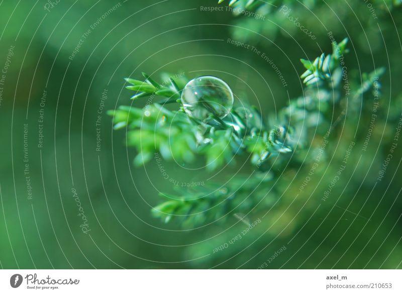 Wassertropfen 3 Natur Pflanze Regen Sträucher Grünpflanze glänzend hängen leuchten frisch nass Sauberkeit schön grün Frühlingsgefühle ruhig bizarr elegant