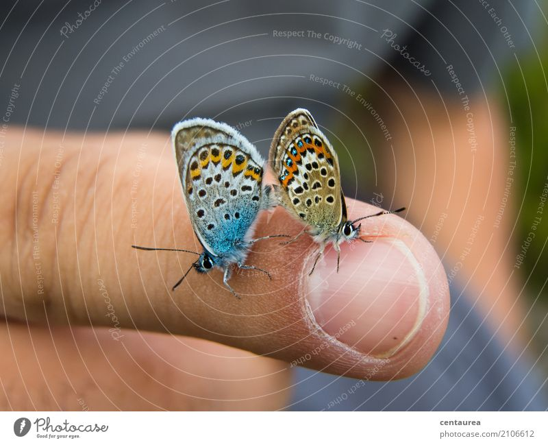 Pärchen Finger Natur Tier Sommer Schönes Wetter Garten Park Wiese Feld Wildtier Schmetterling 2 Tierpaar beobachten Liebe Sex Glück wild blau braun orange weiß
