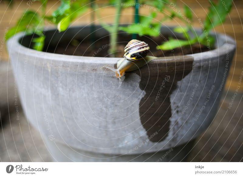 Wasser lassen Garten Schnecke 1 Tier Blumentopf klein nass Fleck krabbeln Schneckenhaus Schädlinge schleimig Farbfoto Außenaufnahme Nahaufnahme Menschenleer Tag