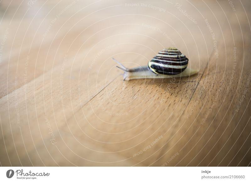 geradeaus Farbfoto Schnecke Nahaufnahme Innenaufnahme Makroaufnahme Tischplatte Holz krabbeln klein braun beige langsam niedlich einzeln Tierporträt Natur