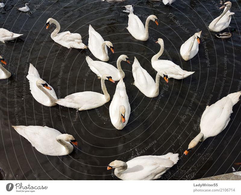 Gruppe der Schwäne elegant schön Menschengruppe Natur Landschaft Tier Teich See Vogel Schwan füttern wild weiß aquatisch Hintergrund Schnabel Beautyfotografie