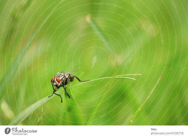 Guten Morgen! Natur Pflanze Tier Sommer Gras Garten Wiese Wildtier Fliege Insekt 1 klein grün rot Farbfoto mehrfarbig Außenaufnahme Nahaufnahme Makroaufnahme