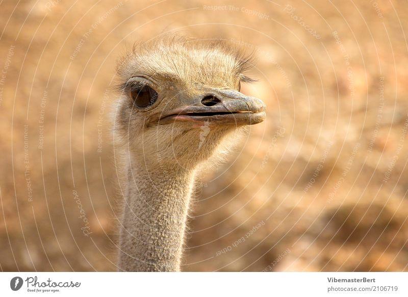Vogel Strauss Tier Wildtier Tiergesicht 1 beobachten Blick Neugier braun Tierliebe Farbfoto Außenaufnahme Nahaufnahme Tag Tierporträt