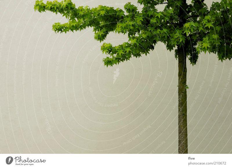 baumanschnitt Umwelt Natur Sommer Pflanze Baum Blatt Haus Gebäude Mauer Wand dünn Baumstamm Farbfoto Außenaufnahme Textfreiraum links Tag Licht Menschenleer