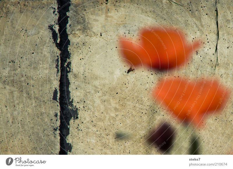 Graffiti naturelle Pflanze Blume Blüte Mauer Wand weich rot Mohnblüte Riss Betonwand sanft zart Gedeckte Farben Nahaufnahme Menschenleer Textfreiraum links
