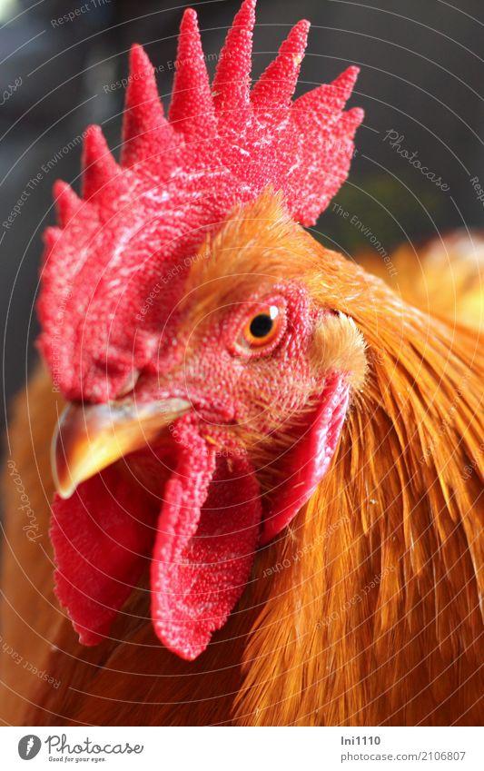 Hahn schön rot Tier schwarz gelb Auge braun Vogel ästhetisch Feder beobachten Neugier Haustier Tiergesicht Schnabel Stolz