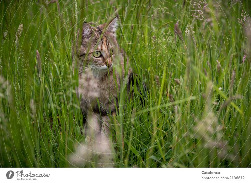 Wiesenkatze Natur Pflanze Tier Sommer Gras Blatt Blüte Blühende Gräser Garten Haustier Katze Tigerkatze 1 beobachten sitzen Wachstum schön braun gelb grün