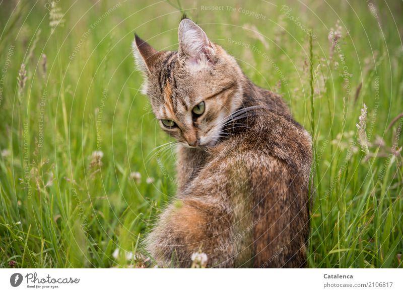 Körperpflege Fellpflege Wohlgefühl Natur Pflanze Tier Sommer Gras Blüte Blühende Gräser Wiese Katze 1 sitzen Sauberkeit feminin braun gelb grau grün orange