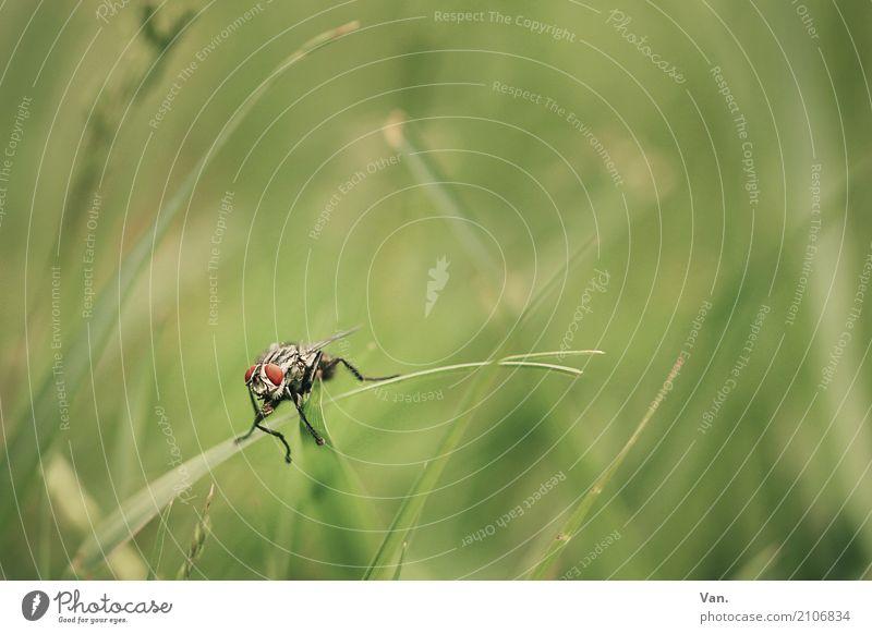 Pucki Natur Pflanze Tier Gras Halm Garten Wiese Fliege 1 klein grün rot Farbfoto Gedeckte Farben Außenaufnahme Nahaufnahme Makroaufnahme Menschenleer Tag