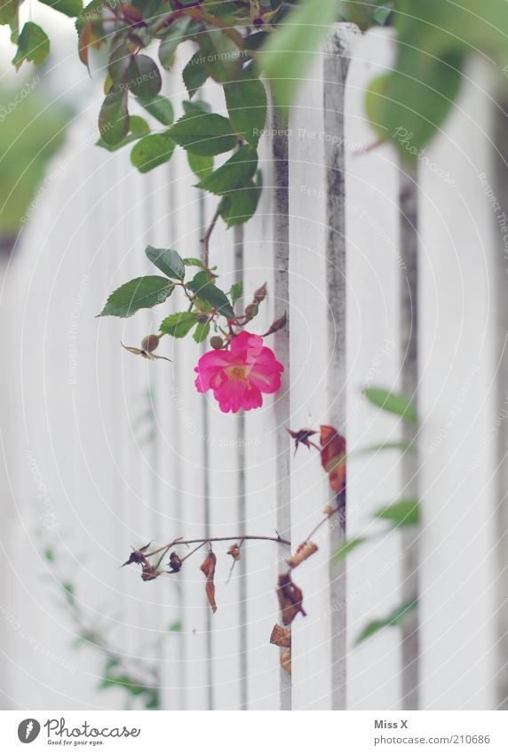 secret garden Garten Natur Pflanze Sommer Blume Rose Blatt Blüte Blühend Duft Wachstum Kitsch geheimnisvoll Nostalgie Gartenzaun Zaun Wildrosen wild verstecken