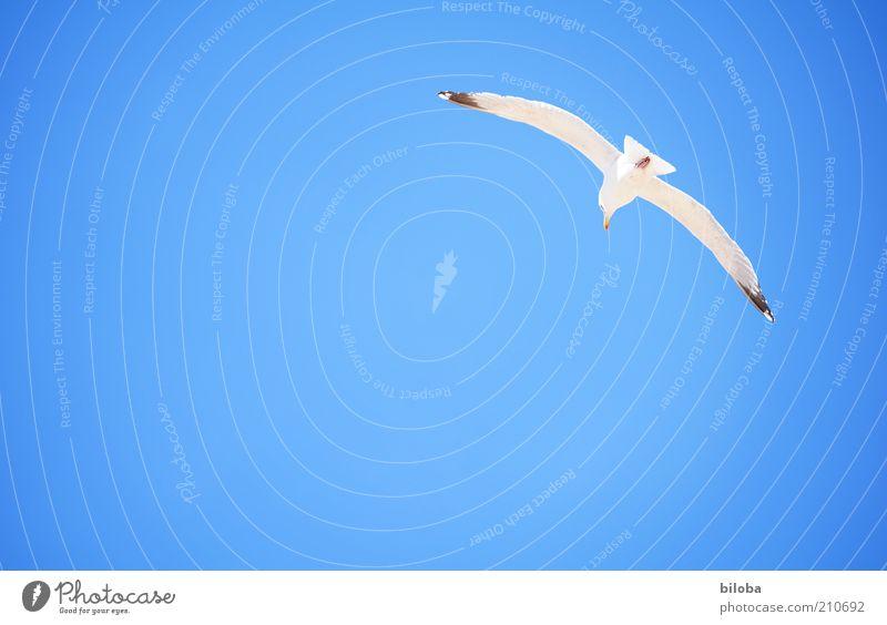 Ich mache heute blau... Himmel Sommer Tier Vogel 1 Glück Lebensfreude Hoffnung Reue Freiheit Möwe Möwenvögel fliegen frei Luft atmen Freiraum Textfreiraum links