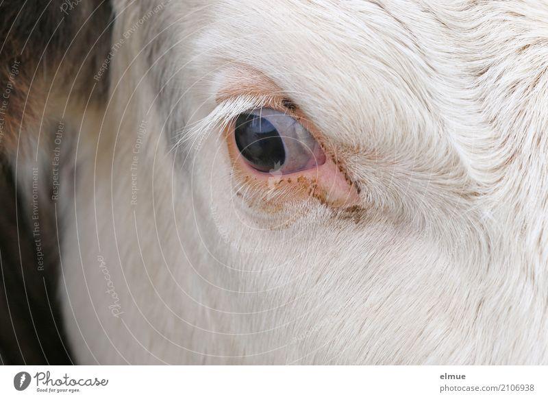 Rundblick Leben Auge außergewöhnlich Kopf träumen Kommunizieren beobachten bedrohlich geheimnisvoll entdecken nah Kontakt Vertrauen Fell Kuh Identität