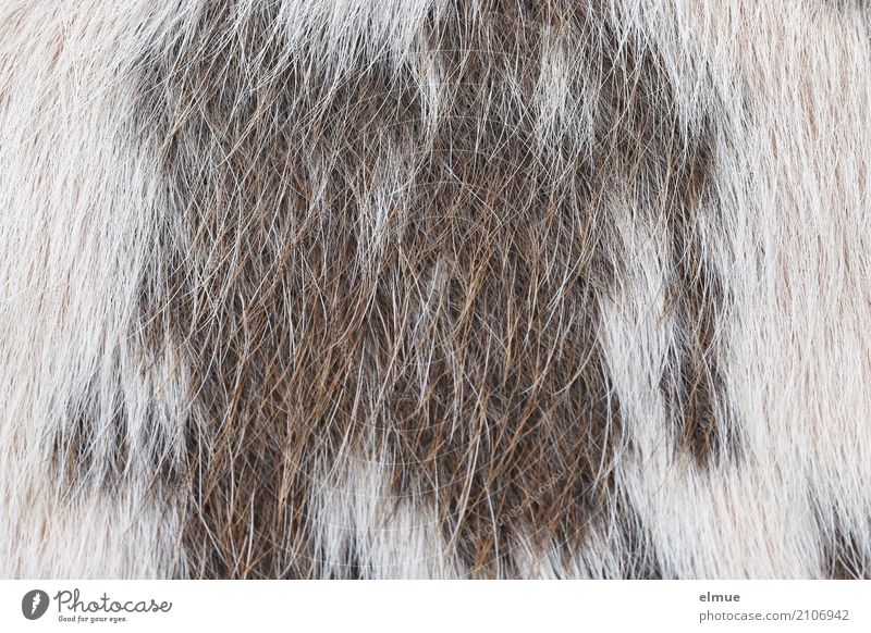 Fell ... von der Kuh (1) Natur weiß natürlich Haare & Frisuren Mode braun Design ästhetisch Kreativität einzigartig kaufen einfach Sauberkeit Tierhaut