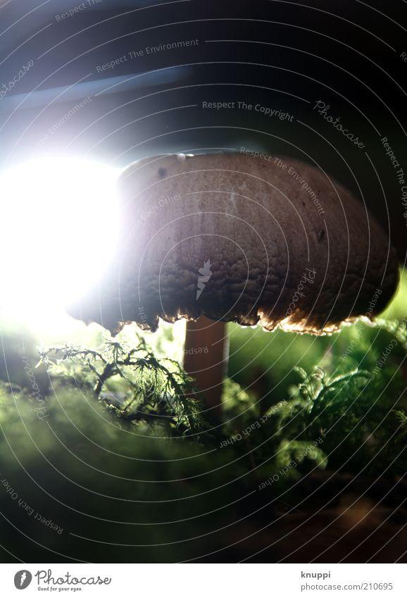 Î Lebensmittel Ernährung Umwelt Natur Pflanze Erde Herbst Moos alt stehen Wachstum braun grün schwarz weiß Pilz Pilzhut Gegenlicht dunkel Farbfoto mehrfarbig