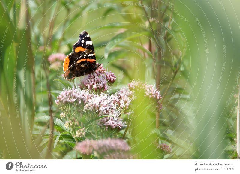 Butterfliege in the Wiese Umwelt Natur Pflanze Sommer Schönes Wetter Blume Gras Sträucher Wildpflanze Tier Insekt Schmetterling 1 schön einzigartig mehrfarbig