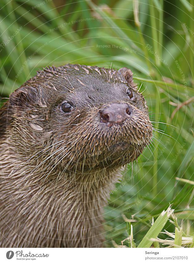 Schau her Tier Wildtier Tiergesicht Fell 1 Fressen Blick Schwimmen & Baden Fischotter Farbfoto mehrfarbig Außenaufnahme Detailaufnahme Menschenleer
