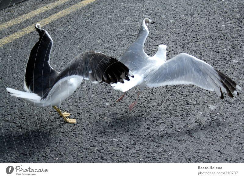 Hochbetrieb auf der Start- und Landebahn Tier Straße Leben Bewegung grau Zufriedenheit Kraft elegant fliegen Geschwindigkeit ästhetisch Team Flügel Asphalt