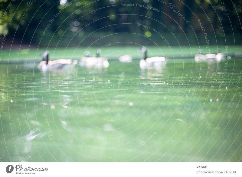 Augsburger Puppenkiste Umwelt Natur Wasser Sonnenlicht Sommer Schönes Wetter Wärme Park Teich Tier Wildtier Vogel Ente Gans Kanadagans Tiergruppe Schwarm grün