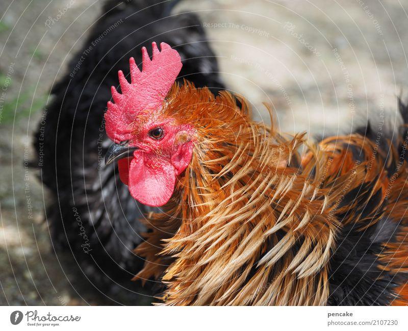 stürmisch Wind Park Tier Nutztier Vogel 1 authentisch Zwerghuhn Hahn Hahnenkamm Feder Farbfoto Außenaufnahme Tierporträt