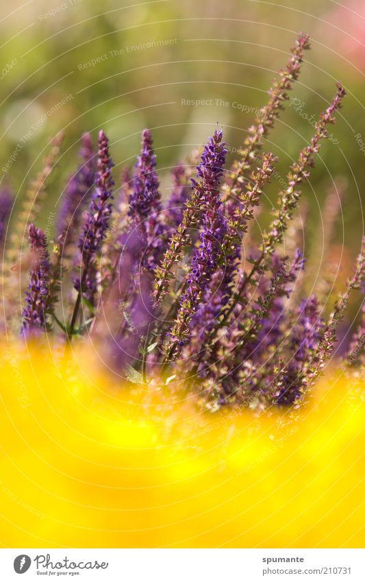 Salbei im Goldrausch Natur schön Blume Pflanze Sommer gelb Leben Blüte Garten Wärme gold Wachstum violett Freizeit & Hobby zart