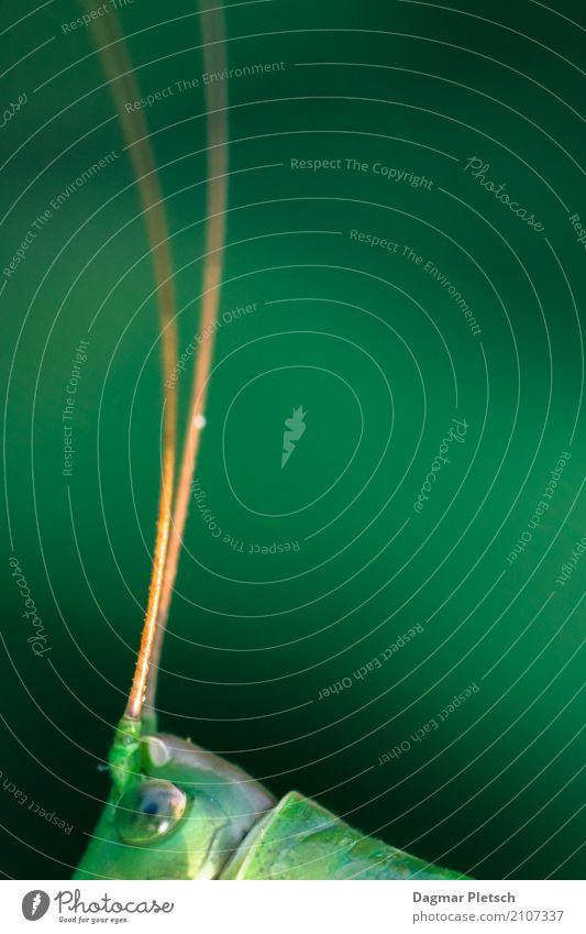 Heuschrecke Natur Tier Frühling Sommer Schönes Wetter Grünpflanze Feld Wildtier Käfer 1 entdecken Jagd Blick außergewöhnlich Coolness frech Neugier blau gelb