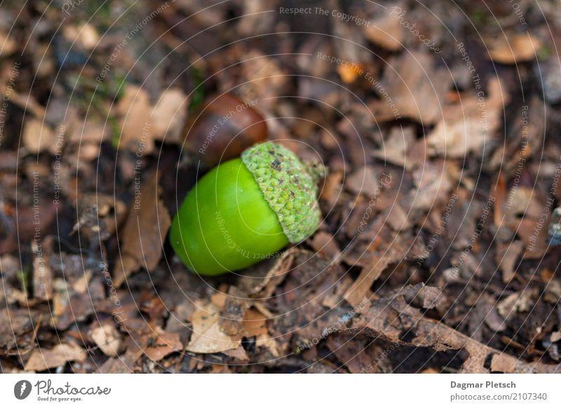Eichel Natur Pflanze schön grün Baum Landschaft Blatt ruhig Winter Wald gelb Herbst natürlich Holz Garten braun