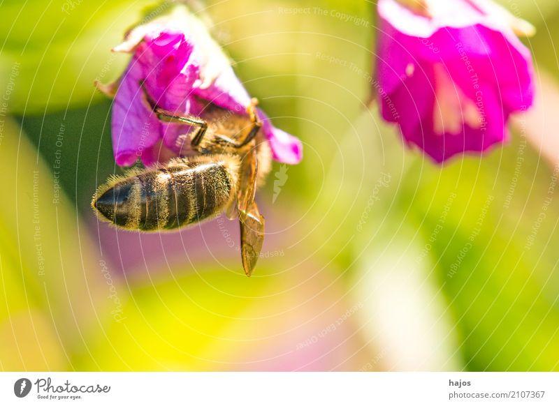 Biene auf Blüte schön Natur Pflanze Tier leuchten rot Romantik Apis mellifera Insekt Strahlen sonnig Blütenblatt Pollen sammeln wild Deustchland Farbfoto