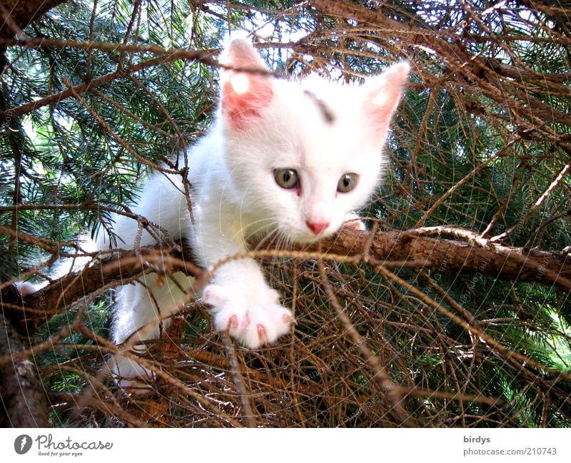 Verflixtes Geäst....MAMAAAA Katze Natur schön weiß Baum Tier Tierjunges Lebensfreude Neugier Höhenangst entdecken Gesichtsausdruck Mut Tiergesicht Haustier Tanne